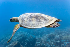 Sea turtle on the coral reef stock photography