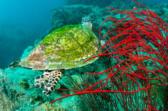 Sea turtle and coral reef Stock Photography