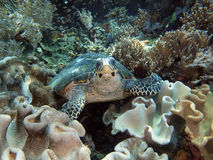 Sea Turtle on coral reef royalty free stock images