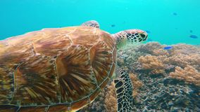 Sea turtle on coral reef stock video