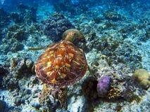 Sea turtle coral reef Stock Photos