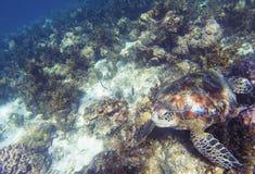 Sea turtle in coral reef. Coral reef environment. Animal underwater photo. Marine tortoise undersea. Green turtle in nature. Green turtle underwater. Tropical stock photos