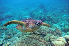 Sea turtle in coral reef. Exotic marine turtle underwater photo. Oceanic animal in wild nature. Summer vacation activity