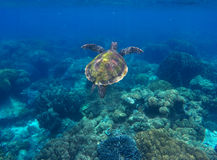 Sea turtle and coral reef. Green turtle swimming in deep blue sea. stock photos