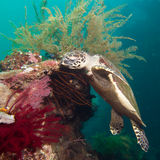 Sea turtle on a coral reef Stock Photos