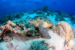 Sea Turtle on a coral reef Stock Image