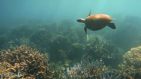 A sea turtle and coral reef. A tracking underwater shot of a sea turtle swimming on top of coral reef stock video footage