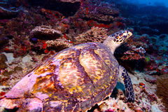Sea Turtle on Coral Tropical Reef Stock Image
