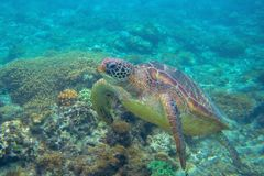 Sea turtle in corals. Exotic marine turtle undersea photo. Oceanic animal in wild nature. Summer vacation