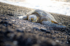 Sea turtle crawling on the rocky beach, Hawaii. USA Royalty Free Stock Photography