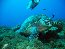Sea turtle in a crystal clear water Royalty Free Stock Photography