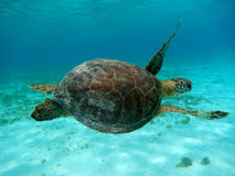Sea turtle Curacao. Swimming sea turtle in the Caribbean sea at Curacao royalty free stock photo