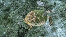 Sea turtle current on coral reef stock footage