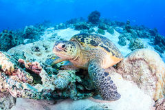 Sea turtle on a damaged coral reef Royalty Free Stock Image