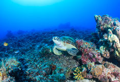 Sea turtle on a dead coral reef Stock Photo