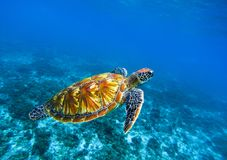 Sea turtle in deep blue seawater. Green sea turtle closeup. Tropical coral reef fauna. Tortoise underwater photo. Seashore ecosystem. Summer travel seaside Royalty Free Stock Images