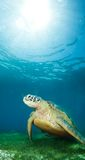 Sea turtle deep underwater Stock Image
