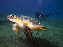 Sea turtle and diver. Green sea turtle Chelonia mydas swimming underwater in front of scuba diver seen on background , Abu Dabab,  Egypt Stock Photography