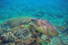 Sea turtle dives in coral reef. Wild marine turtle underwater photo. Oceanic animal in wild nature. Summer vacation