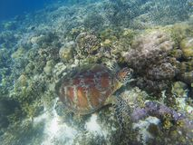 Sea turtle dives to seabottom. Coral reef animal underwater photo.