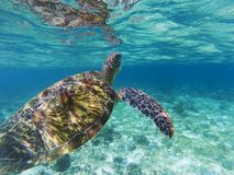 Sea turtle dives up to breathe. Coral reef animal underwater photo. Marine tortoise undersea. Green turtle in natural environment. Green turtle underwater stock image