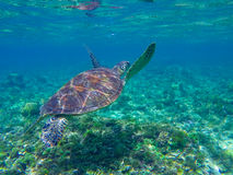 Sea turtle diving above seaweeds. Green turtle in sea water. Stock Photo