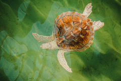 Sea Turtle Diving Down in pool Stock Image