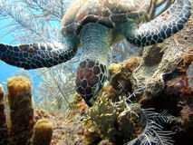 Sea turtle eating. A little Hawksbill sea turtle ignores the divers as it feeds on the corals Stock Photo