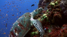 Sea Turtle eating coral on reef slope into sea.