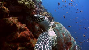 Sea Turtle eating coral on reef slope into sea. Amazing, beautiful underwater world Bali Indonesia and  life of its inhabitants, creatures and diving, travels stock video