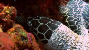 Sea Turtle eating coral on reef slope into sea. Amazing, beautiful underwater world Bali Indonesia and  life of its inhabitants, creatures and diving, travels stock footage