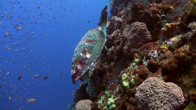 Sea Turtle eating coral on reef slope into sea. Amazing, beautiful underwater world Bali Indonesia and  life of its inhabitants, creatures and diving, travels stock video footage