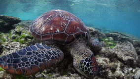 Sea turtle. Eating grass from bottom stock video