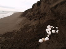 Sea turtle eggs. In Tortuguero national park, Costa Rica Royalty Free Stock Image