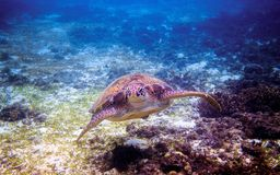 Sea turtle face portrait underwater photo. Green sea turtle closeup. Royalty Free Stock Image