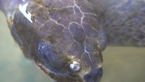 Sea Turtle Face in Water. Close Up stock video footage