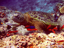 Sea Turtle and fish Royalty Free Stock Image