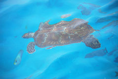 Sea turtle with fish Stock Photo