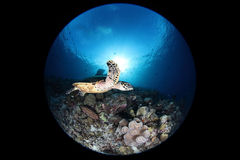 Sea turtle, fisheye Royalty Free Stock Image