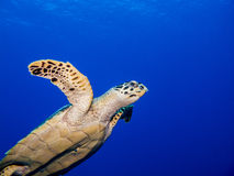 Sea Turtle. Free swimming in the Ocean Royalty Free Stock Image