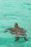 Sea Turtle, Galapagos Royalty Free Stock Photo