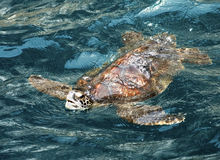 Sea Turtle - Galapagos Islands Royalty Free Stock Photo