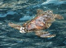 Sea Turtle - Galapagos Islands Royalty Free Stock Photo