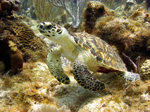 Sea turtle gazes at a passing diver. A sea turtle glides over a beautiful coral reef. This hawksbill sea turtle travels the oceans alone and sometimes enjoys the Royalty Free Stock Photos