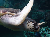 Sea turtle at Georgia Aquarium royalty free stock photo