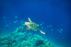 Sea Turtle, Gilli Island, lombok Royalty Free Stock Images