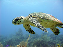 Sea turtle glides over a beautiful coral reef. A sea turtle glides over a beautiful coral reef Stock Photos