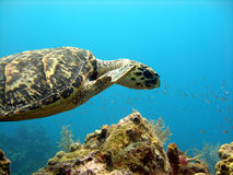 Sea turtle glides over a beautiful coral reef Royalty Free Stock Photo