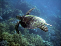 Sea Turtle in Great Barrier Reef Stock Photo