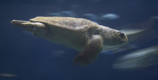 Sea turtle. Green sea turtle swimming underwater Royalty Free Stock Photography